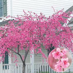 Buy Pink Cascade Weeping Peach At Michigan Bulb Ornamental Trees Flowering Trees Backyard Landscaping