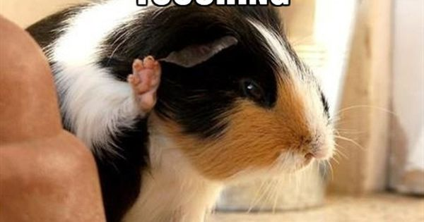 I Ve Had Enough Touching Thank You Guineapigmeme
