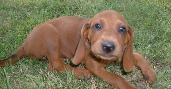 Redbone Coonhound Females 6 Weeks Old 3 This Dog Is A Recommended Breed To Get As A Running Companion Coonhound Puppy Redbone Coonhound Coonhound