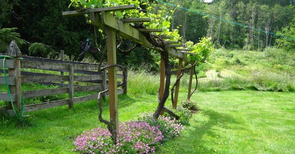 trellis for grapes garden pinterest weinreben. Black Bedroom Furniture Sets. Home Design Ideas