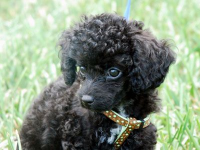 Toy Poodle Price Temperament Life Span Toy Dog Breeds