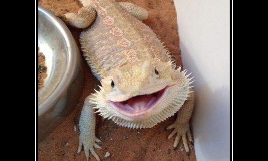 Bearded Dragon Smile Beardies Are Beautiful My Babylon