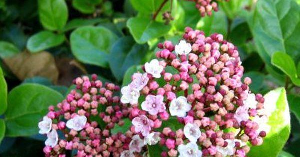 Un laurier tin fleurs roses en hiver le viburnum tinus for Quand rempoter un laurier rose