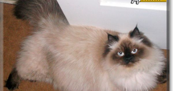 Read Mimi The Himalayan S Story From Santa Barbara California And See Her Photos At Cat Of The Day Http Catoftheday Com Archive 2 Cat Day Himalayan Cat Cats
