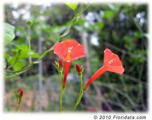 Floridata Ipomoea Coccinea Plants Butterfly Plants Morning Glory Flowers