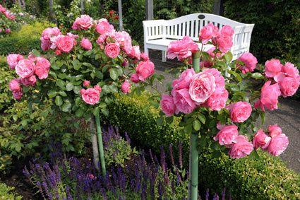 Leonardo Da Vinci Rose Bush Pink Garden Standard Roses Beautiful Pink Roses