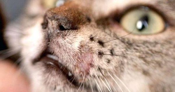 How To Treat Ringworm In Cats Koshki Sobaki