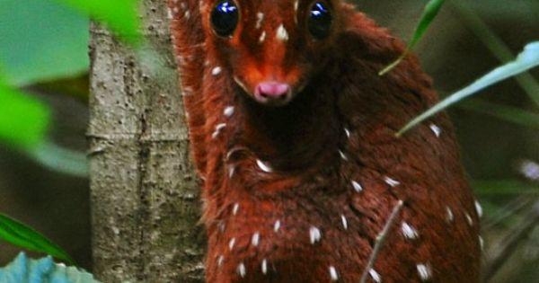 Sunda Colugo | Adorable Mammals | Pinterest | Animal ...