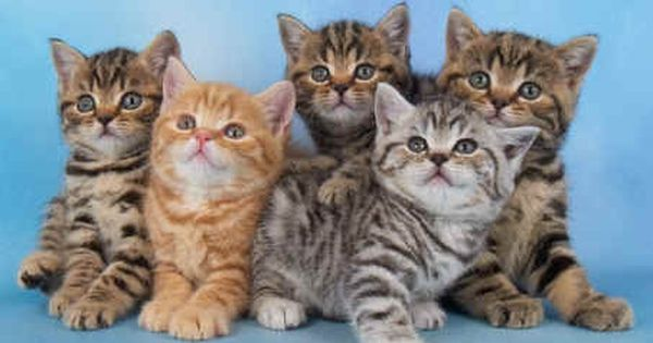British Shorthairs Tabby Kitten British Shorthair Silver Tabby Tabby Cat