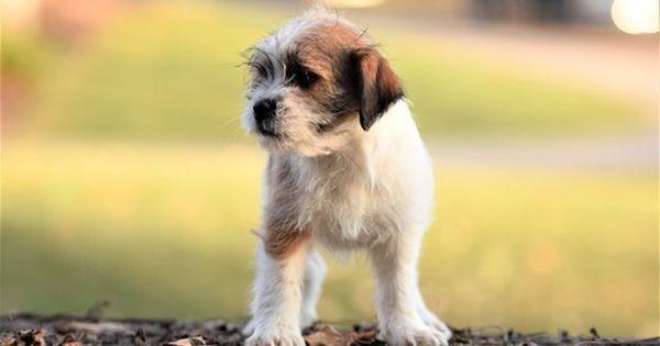 Litter Of 5 Yorkshire Jack Russell Terrier Maltese Shih Tzu Mix