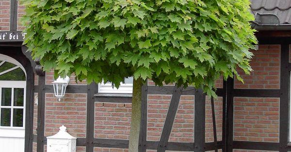 Acer platanoides 'Globosum' - bolesdoorn bolvorm ...
