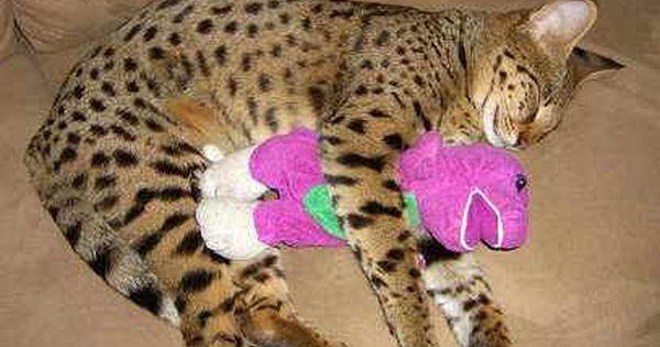 Follow The Piper Savannah Cats Savannah Cat Savannah Chat Savannah Kitten