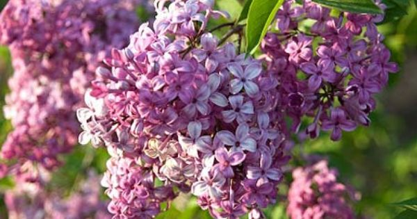 Lilac renovation overhauling your shrubs in year one for Canadian gardening tips