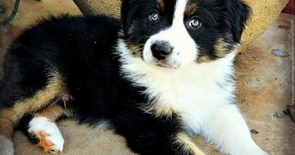Mini Aussie Bristol S Baby Boy Big Boss Love Those Eyes Mini