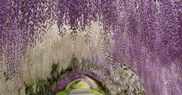 Wisteria Festival in Japan what a wonderland