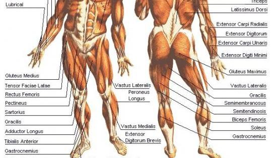 human body muscle diagram - all the muscles of the human body | my, Muscles