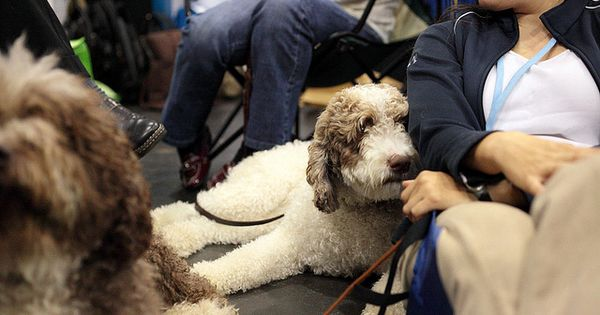 Spanish water dog, Spanish and Dogs on Pinterest