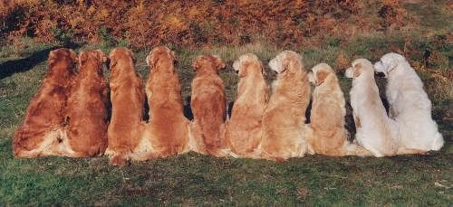 All The Shades A Golden Retriever Can Come In I Love Them All