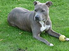 American Staffordshire Terrier Wikipedia The Free Encyclopedia