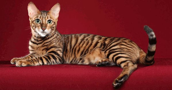 Toyger cat a tiger and cats on pinterest