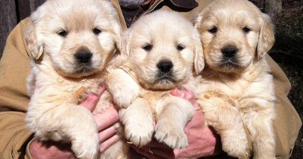 Golden Retriever Puppy For Sale In Jasper Ga Adn 22447 On