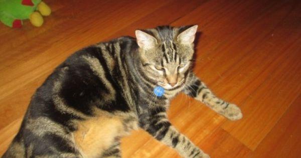 Sunchaser Ocicat Cattery Ocicat Breeder Perth Wa Ocicat Pedigree Cats Cattery