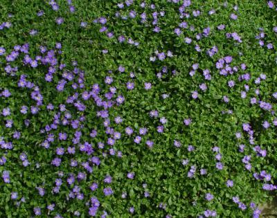 Aubretia. A trailing evergreen plant named in honour of ...