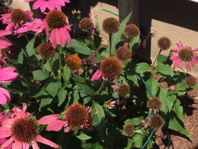Echinacea Deadheading Do You Need To Deadhead Coneflowers Also Known As Purple Coneflower Echinacea Has Grown Wildly And Echinacea Shade Flowers Dead Head