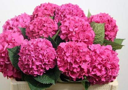 Image Result For Hydrangea Glowing Alps Dark Pink