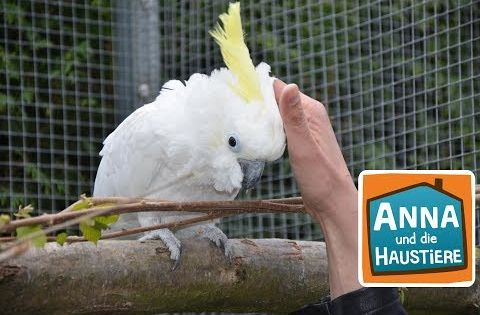 Kakadu Information Fur Kinder Anna Und Die Haustiere Youtube Haustiere Kakadu