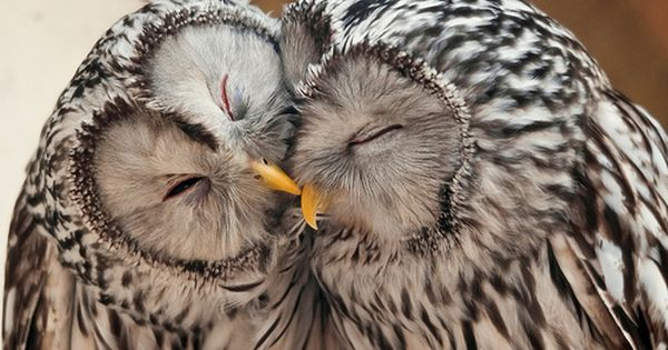 sweet kiss and cuddle owls