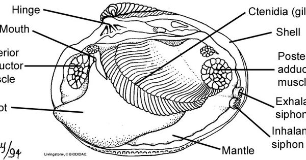 the internal features of a bivalve clam  left valve