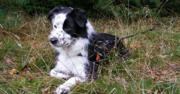 Border Collie Shaba Looking For Sheep Border Collie Herding Dogs Rough Collie