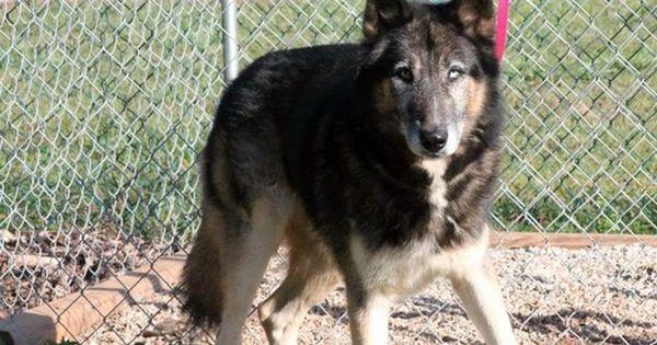 Update October 13 Adopted General Sherman 7 Year Old Husky Shep