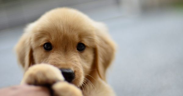 Golden Retriever puppy. (KO) What an angel! My favorite dogs are Golden