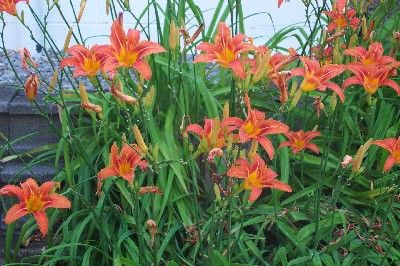 Tiger Lily Interesting Fact Native Americans Ate The Tuberous Roots Baking Them As You Would Potatoes Tiger Lily Plant Lily Plants Tiger Lily