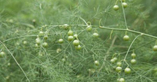 What Is Ferning Out What To Do For Asparagus Ferning Out Early What Is Actually Happening Here Asparagus Plant Asparagus Fern Harvesting Asparagus