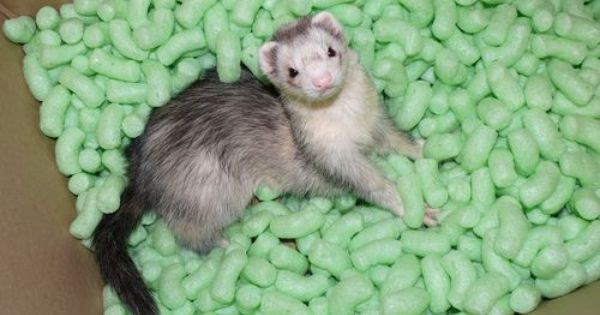 A Ferret Fiasco Ferret Ferret Toys Cute Ferrets