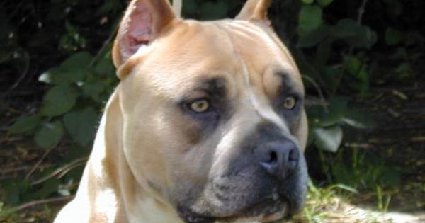 simba   nice looking amstaff  american staffordshire terrier    gaff kennels