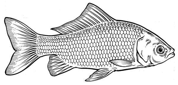 Goldfish Drawing Gallery Fish Sketch Fish Illustration Fish Art