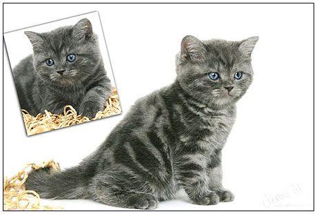 British Shorthair Cat Blue Smoke Cattery British Shorthair British Shorthair Cats