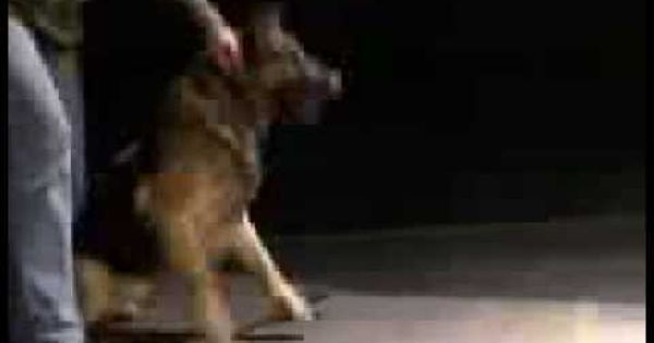 Bite Force Competition Between Rottweiler German Shepherd And