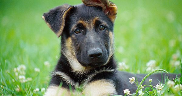Pup 15 Gr0031 01 C Kimball Stock Close Up Of German Shepherd Puppy Laying On Lawn With Dandelions Gsd Puppies German Shepherd Puppies Dogs And Puppies