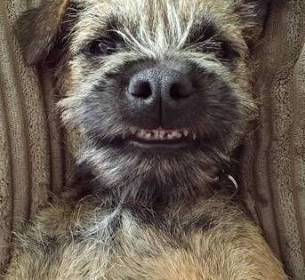 That S The Cutest Smile Border Terrier Puppy Terrier Puppies