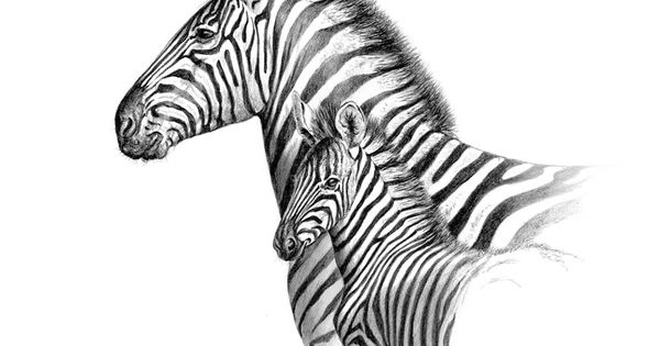 drawings of zebras | Pencil Drawings I draw this | Animals ...: https://www.pinterest.com/pin/369576713144221348/