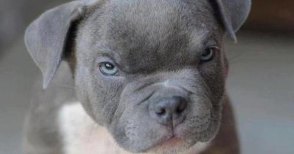 Blue Nose Pitbull Puppy Whadda Ya Mean I Am Smiling