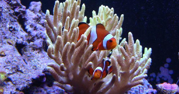 10 best beginner saltwater fish fish pinterest for Best starter fish