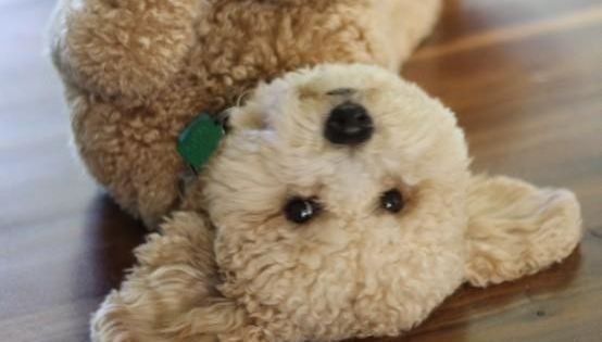 a Goldendoodle puppy! It looks like a stuffed animal!