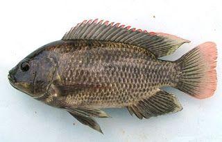 Pemancingan Mujair Teknik Memancing Ikan Mujair Umpan Ikan Mujair Air Payau Umpan Ikan Mujair Danau Umpan Ikan Mujair Di Empang Umpan Ikan Habitat Makanan Ikan