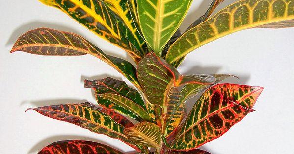 Conocida como croton crotos croto su nombre bot nico es for Plantas ornamentales croto